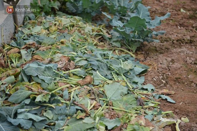 Nước mắt sau Tết: Người nông dân nhổ bỏ cải bắp, su hào vì ế không bán được - Ảnh 4.