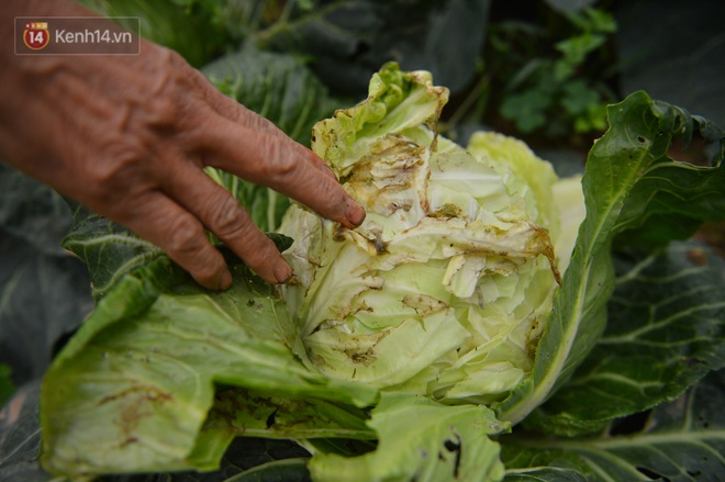 Nước mắt sau Tết: Người nông dân nhổ bỏ cải bắp, su hào vì ế không bán được - Ảnh 5.