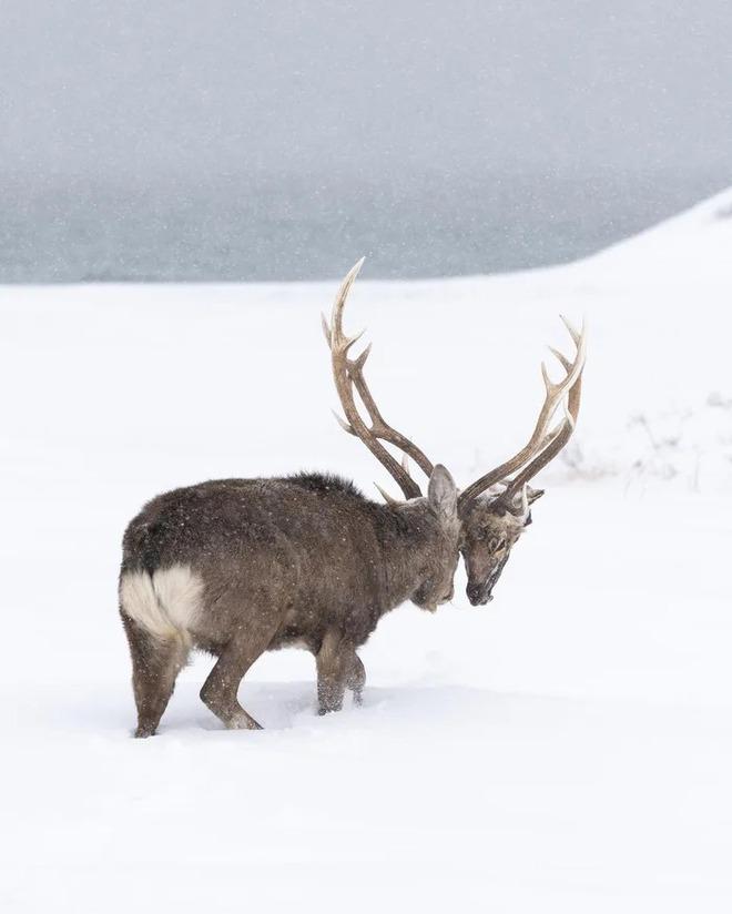 Thiên nhiên kinh dị: Hươu đực lang thang với đầu lâu của đối thủ treo lủng lẳng trên sừng mình - Ảnh 1.
