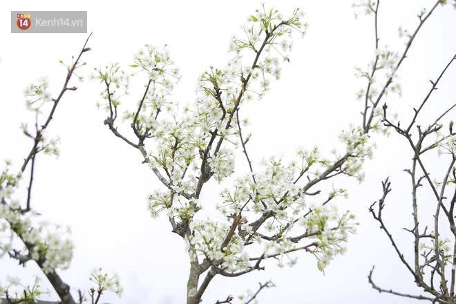 Ảnh: Hàng trăm người dân Hà Nội đổ xô đi mua hoa lê về chơi Rằm tháng Giêng - Ảnh 1.