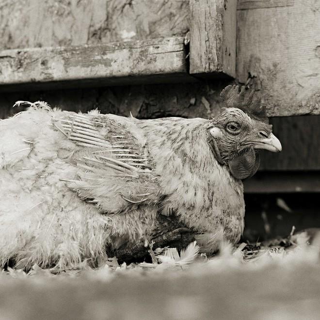 Chùm ảnh những con vật được cho phép sống đến già gây ám ảnh lạ kỳ: Khi các mảnh đời ngắn ngủi được ban tặng sự sống buồn tủi - ảnh 6