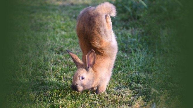 Đằng sau chú thỏ 'trồng cây chuối' dễ thương là sự thật đầy xót xa 001