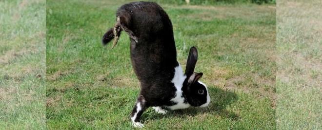 Đằng sau chú thỏ 'trồng cây chuối' dễ thương là sự thật đầy xót xa 002