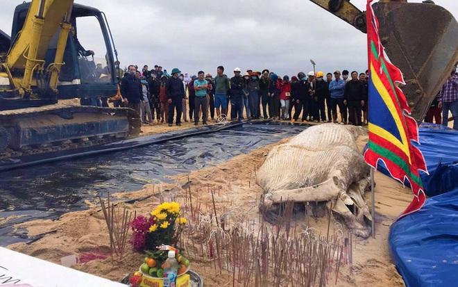 Dùng máy xúc chôn cất, an táng cá voi hơn 2 tấn ở Quảng Bình - ảnh 1