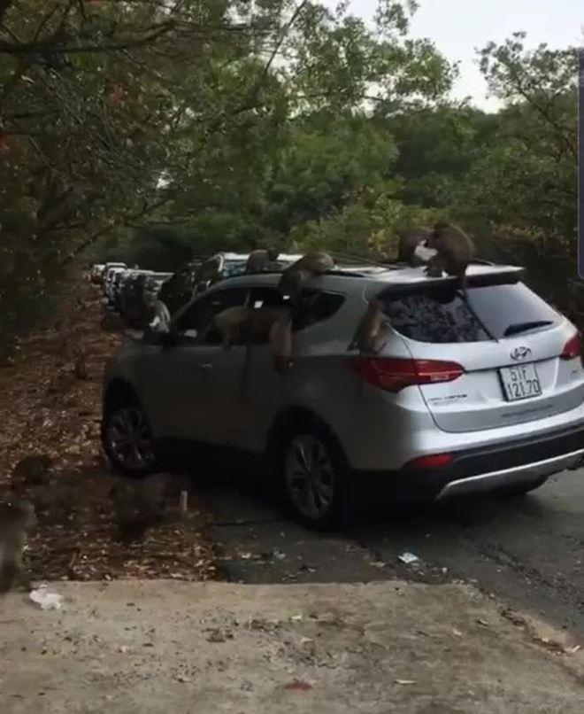 Hàng chục chú khỉ đại náo ô tô quên đóng cửa ở Cần Giờ - ảnh 1