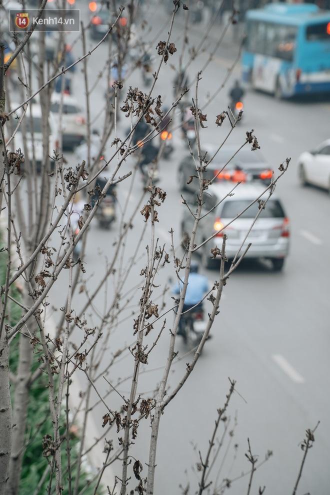 """Hàng phong lá đỏ ở Hà Nội: Từ kỳ vọng """"Châu Âu giữa lòng Thủ đô"""" đến """"những cành củi khô"""" sắp bị thay thế - Ảnh 6."""
