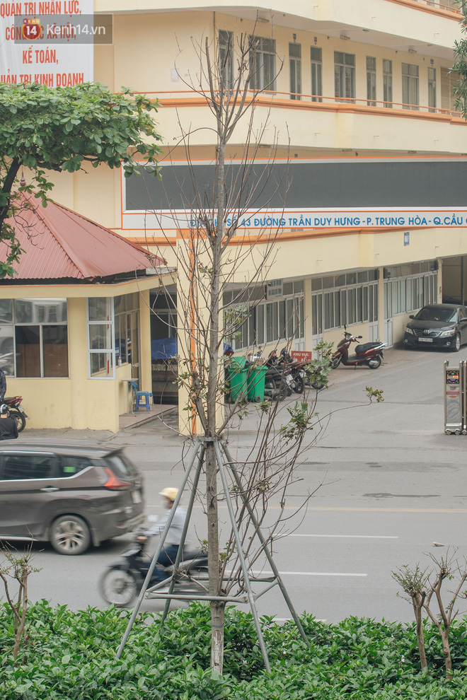 """Hàng phong lá đỏ ở Hà Nội: Từ kỳ vọng """"Châu Âu giữa lòng Thủ đô"""" đến """"những cành củi khô"""" sắp bị thay thế - Ảnh 9."""