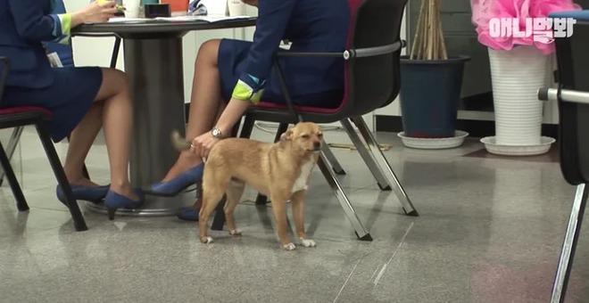 Chú chó mê gái khét tiếng ở sân bay Hàn Quốc: Thấy tiếp viên nữ là sấn sổ bổ nhào, gặp tiếp viên nam thì thờ ơ tránh né - Ảnh 7.