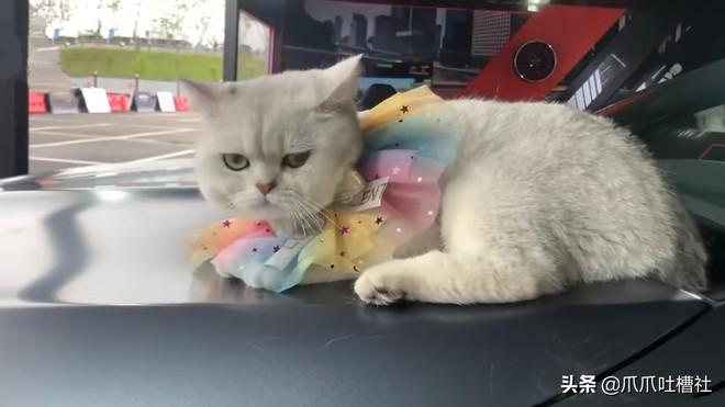 Chú mèo đi làm mẫu xe hơi chuyên nghiệp, nằm ngáp suông nhận 50 triệu/ buổi giúp sen đổi đời - ảnh 8
