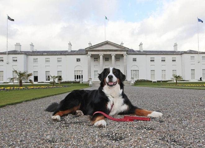Chó cưng của Tổng thống Ireland càn quét MXH vì màn phá rối chủ đáng yêu hết sức ngay trên sóng trực tiếp - ảnh 7