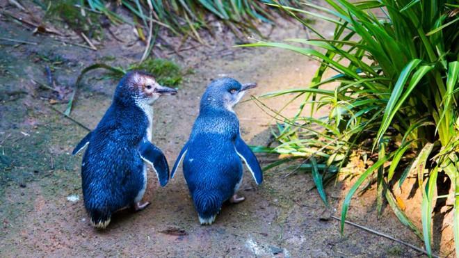 Hơn 6000 con chim cánh cụt bị quét sạch tại một hòn đảo vì sự xuất hiện của một con quỷ - ảnh 1
