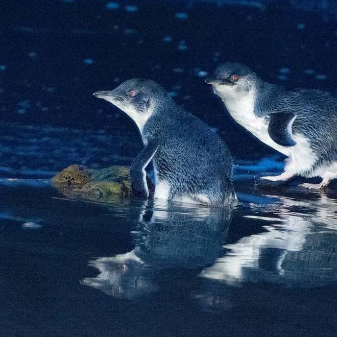 Hơn 6000 con chim cánh cụt bị quét sạch tại một hòn đảo vì sự xuất hiện của một con quỷ - ảnh 4