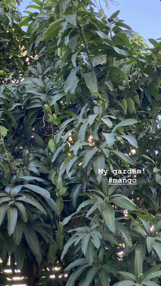 """""""Đột nhập"""" vườn cây trái trĩu cành trong biệt thự triệu đô nhà Hà Tăng, chỉ xem ảnh thôi mà ai cũng muốn… thu hoạch hộ gia chủ! - Ảnh 3."""
