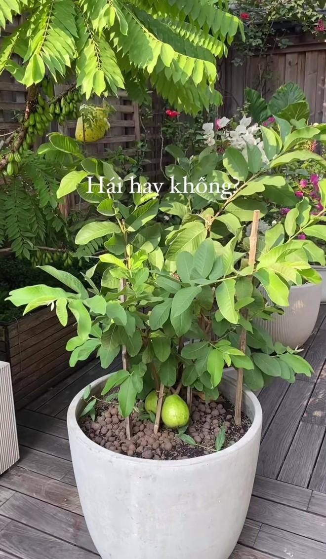 """""""Đột nhập"""" vườn cây trái trĩu cành trong biệt thự triệu đô nhà Hà Tăng, chỉ xem ảnh thôi mà ai cũng muốn… thu hoạch hộ gia chủ! - Ảnh 7."""