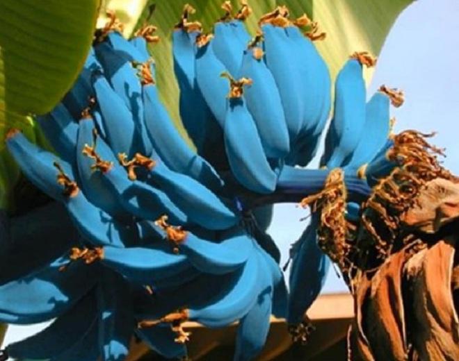 Giống chuối xanh biếc kì lạ tưởng chỉ là photoshop nào ngờ có thật 100%, lại còn được trồng ở rất gần Việt Nam - ảnh 5
