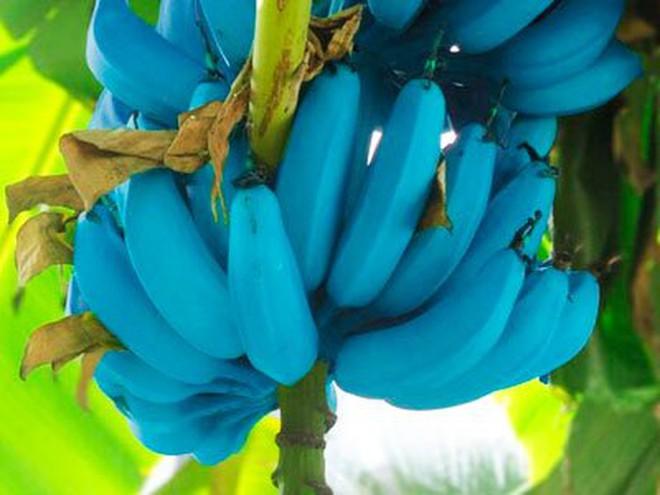 Giống chuối xanh biếc kì lạ tưởng chỉ là photoshop nào ngờ có thật 100%, lại còn được trồng ở rất gần Việt Nam - ảnh 6