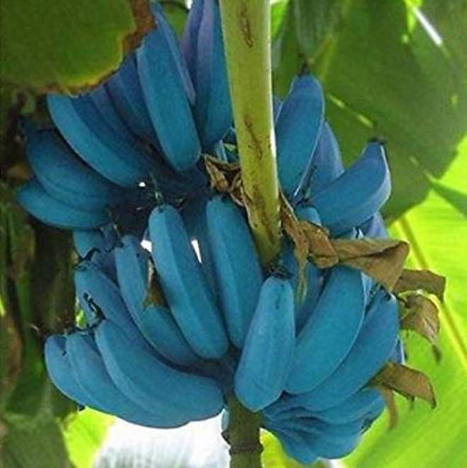 Giống chuối xanh biếc kì lạ tưởng chỉ là photoshop nào ngờ có thật 100%, lại còn được trồng ở rất gần Việt Nam - ảnh 7