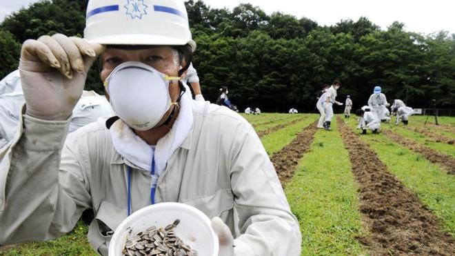 Đồng hoa hướng dương khổng lồ mọc lên ngay cạnh nhà máy Fukushima sau thảm họa hạt nhân chết chóc nhất lịch sử: Chuyện bí ẩn gì đây? - ảnh 3