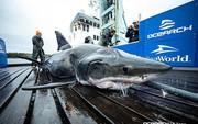 Trục vớt cá mập trắng khổng lồ nặng nửa tấn với 2 vết cắn lớn sau gáy: Hung thủ là con quái vật to cỡ nào cơ chứ?
