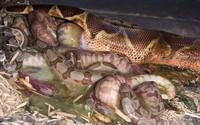 Giải mã bí ẩn trăn Anaconda khổng lồ trong sở thú bỗng dưng đẻ con dù cả đời chẳng biết đến mùi trai là gì