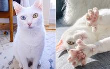 Bị chủ vứt ra đường vì mắt 2 màu và chân có nhiều ngón, cô mèo mắc hội chứng lạ khiến hội yêu động vật thổn thức, đòi nhận nuôi bằng được