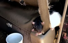 Chuyện lạ: Người phụ nữ sống với 320 con chuột trong xe tải