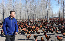 Mỗi sáng lùa 70.000 con gà chạy bộ tập thể dục, tối lại lùa về chuồng nghỉ ngơi, anh nông dân kiếm bộn tiền hàng tháng