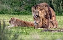 """ĐH Yale xác nhận Đam mỹ là """"chuyện phổ biến ở phần lớn các loài động vật"""": Bảo sao mà 2 anh sư tử trên thảo nguyên ngày nào lại đè nhau ra"""