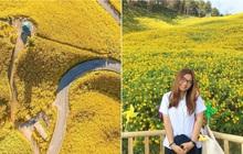 Đồi hoa dã quỳ vàng rực chẳng biết là mơ hay thật đang gây sốt toàn Thái Lan, xem ảnh ngoài đời chỉ biết ngỡ ngàng vì đẹp!