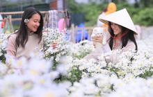 """Hàng nghìn người chen chúc """"check in"""" vườn cúc họa mi lần đầu tiên được trồng ở Đà Nẵng"""