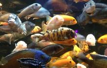 """Đây là những con cá """"quái dị"""" bậc nhất hành tinh khiến khoa học phải kinh ngạc: Tạo ra hẳn một LOÀI MỚI mỗi khi sinh sản"""