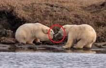 Gấu Bắc Cực đói đánh nhau giành rác nhựa - Cảnh tượng xót xa về ảnh hưởng của ô nhiễm môi trường đến các loài động vật