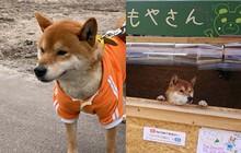 Chú chó shiba quản lý quầy khoai lang nướng ở Nhật khiến 5000 anh em mong mỏi được diện kiến một lần
