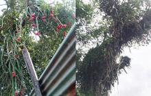 """Trầm trồ cây thanh long cổ thụ """"siêu to khổng lồ"""", sai trĩu quả cả làng ăn không hết"""