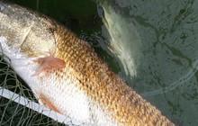 Quảng Bình: Bắt được con cá nặng 7kg, nghi cá sủ vàng quý hiếm