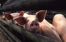 Đột phá: Tim lợn có thể ghép cho tim người trong 3 năm nữa?