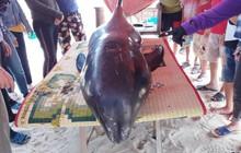 Giải cứu cá voi nặng hơn 150kg mắc kẹt trên bãi biển