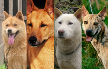 """Việc gì phải chọn chó Nhật Shiba khi Việt Nam cũng có """"tứ đại danh khuyển"""" dư sức đóng """"Cậu Vàng""""?"""