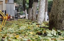 Hà Nội: Người dân hoang mang khi hàng cây sưa hơn 20 năm có dấu hiệu bất thường, rụng lá hàng loạt