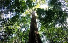 Kỷ lục cây cao nhất của rừng Amazon vừa tăng vọt thêm 50% mà khoa học đang không thể hiểu tại sao