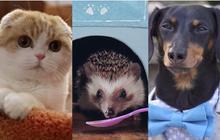 23 chú thú cưng có sức ảnh hưởng nhất thế giới, có chú đạt cả kỷ lục Guiness vì đi bằng... hai chân