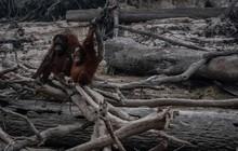 Sự thật đau lòng đằng sau hình ảnh những chú đười ươi đứng trơ trọi giữa cánh rừng bị nông dân thiêu rụi