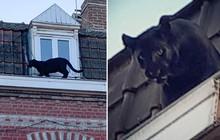 Báo đen siêu hiếm bỗng dưng leo trèo thám hiểm khắp các mái nhà ở Pháp: Huyền thoại trăm năm có một của châu Phi sao lại ra nông nỗi này?
