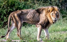 Cái kết của một vị vua: Bi kịch phũ phàng khi sư tử về già và bị đuổi khỏi đàn