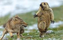 Bức ảnh sói dọa hú hồn chú sóc nhận Giải Nhất cuộc thi Nhiếp ảnh động vật hoang dã 2019