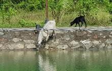 Trâu đằm suối, bò, dê uống nước kênh dẫn vào nhà máy nước sạch sông Đà