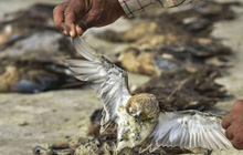 Hơn 2.400 con chim chết bên hồ, phủ kín gần 200 km vuông