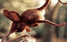 Nosewalkers - loài động vật kì lạ nhất Trái Đất, dù có chân nhưng lại dùng mũi để di chuyển