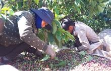 Lênh đênh phận người vượt hàng trăm cây số hái cà phê thuê kiếm Tết