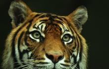 Bắt giữ 5 người Indonesia săn trộm bào thai hổ Sumatra quý hiếm